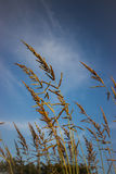 Foxtail weed  Stock Image