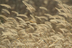 Foxtail weeds in autumn Royalty Free Stock Image