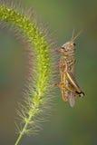 foxtailgräshoppa Arkivbilder