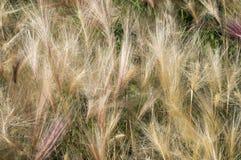 Foxtailkorn Royaltyfria Foton