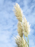 Foxtails Royalty Free Stock Images