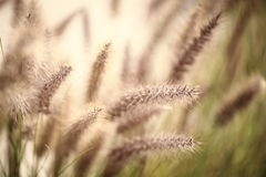 Foxtails grass Stock Photography