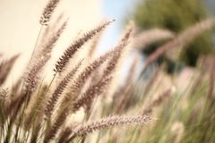 Foxtails grass Stock Image