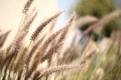 Foxtails grass. Close-up selective focus Stock Image