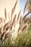 Foxtails grass. Close-up selective focus Royalty Free Stock Photo