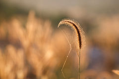 Foxtails grass  under sunshine ,close-up selective focus Stock Photography