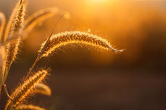 Foxtails grass  under sunshine ,close-up selective focus Royalty Free Stock Photography