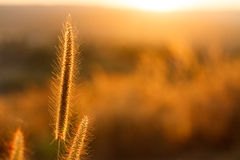 Foxtails grass  under sunshine ,close-up selective focus Stock Images