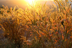 Foxtails grass  under sunshine ,close-up selective focus Royalty Free Stock Photo