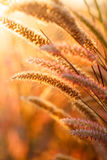 Foxtails grass  under sunshine ,close-up selective focus Royalty Free Stock Photos