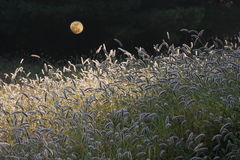 Foxtails under moonlight Royalty Free Stock Photos