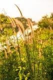 Foxtailsgräs under solsken, selektiv fokus för närbild Arkivfoto