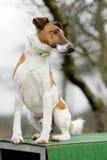 Foxterrier Stock Photo