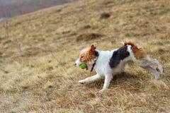 Foxterrier auf dem Gebiet Stockfoto