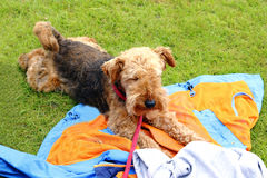 Foxterrier Royalty Free Stock Image