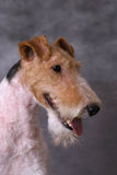 Foxterriers portrate Stock Photos