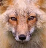Red Fox Portrait (wild)  Stock Photo