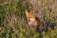 foxy Royalty-vrije Stock Afbeelding