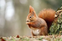 Foxy beauty Royalty Free Stock Image