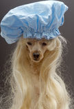 Foxy Blonde In Shower Cap. A poodle in a blonde wig and blue shower cap isolated on a gray background Stock Photo
