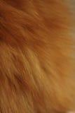 Foxy bont Royalty-vrije Stock Afbeeldingen