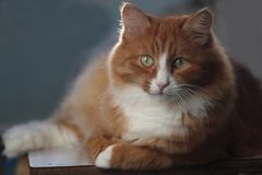 Foxy cat Stock Photos