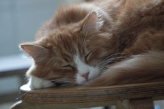 Foxy cat sleeping Royalty Free Stock Photos