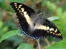 Foxy Charaxes Butterfly. Foxy Charaxes Charaxes saturnus butterfly at rest with open wings Royalty Free Stock Photo