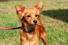 Foxy dog Stock Photos