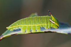 Foxy Emperor (Charaxes jasius). Close view of Arbutus Unedo caterpillar, Foxy Emperor (Charaxes jasius Stock Photos