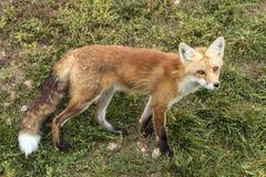 Foxy fox Royalty Free Stock Photos