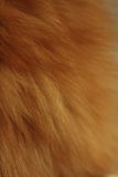 Foxy fur. Hair of a foxy cat, close-up Royalty Free Stock Images
