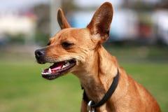 Foxy Hund Stockfoto