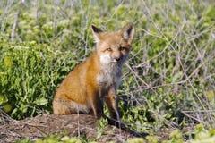 Foxy Stock Photography