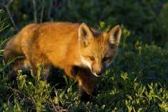 Foxy Prowler Royalty Free Stock Photo