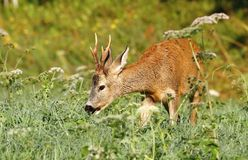 Foxy roe deer Stock Photography