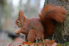 Foxy squirrel Stock Photo