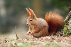Foxy squirrel Stock Photography