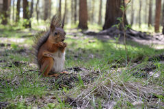 Foxy squirrel with tit, prow and brush sitting on grass near hassock in the wood . Wild furry animal macro Stock Photo