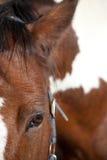 Foyer de repos de cheval fauve et blanc sur l'oeil Photos libres de droits
