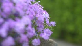 Foyer et defocus sur le gillyflower et le buisson vert clips vidéos