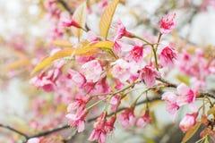 Foyer mou, belles fleurs de cerisier, fleurs roses lumineuses de Sak images stock