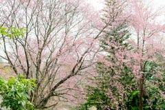 Foyer mou, belles fleurs de cerisier, fleurs roses lumineuses de Sak images libres de droits