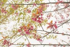 Foyer mou, belles fleurs de cerisier, fleurs roses lumineuses de Sak photo libre de droits