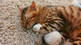 Foyer mou Cat Hugging Toy Mouse de sommeil Photographie stock libre de droits