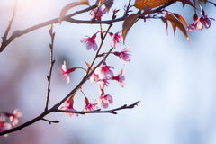 Foyer mou Cherry Blossom ou fleur de Sakura sur le backgr de tache floue de nature Photos stock