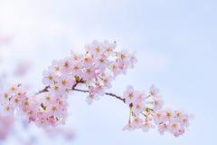 Foyer mou de fleurs de cerisier abstraites, fond Photos stock