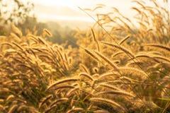 Foyer mou sur la fleur d'herbe sèche avec la lumière du soleil de lever de soleil Herbe d'automne sur le lever de soleil Nature d image stock