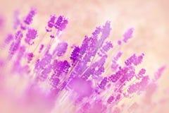Foyer mou sur la lavande de fleur Photographie stock
