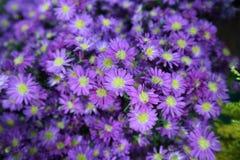 Foyer peu de coloré de fleur et de beau chrysanthème et choisi pourpre Image stock